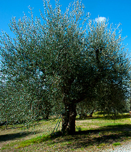 An old and strong olive plant at Bindozzino farmland